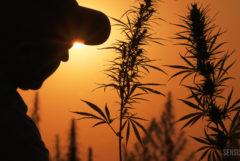 Cette photo montre les silhouettes de deux plants de cannabis en fleur et d'un homme dans la lumière du soleil couchant.