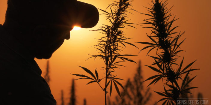 This photo shows the silhouettes of two flowering cannabis plants and a man in front of the setting sun.