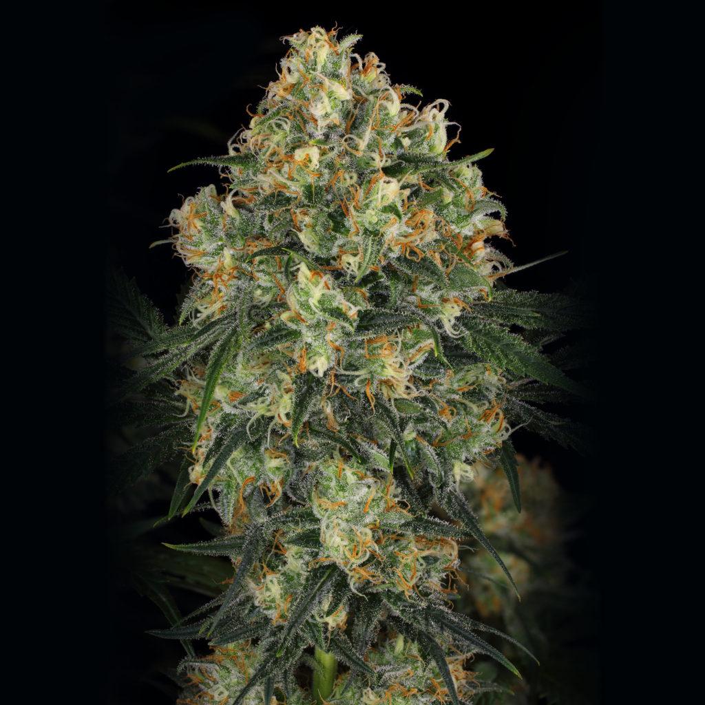 Een close-up van een met trichomen bedekte top van de cannabissoort Hindu Kush tegen een zwarte achtergrond.