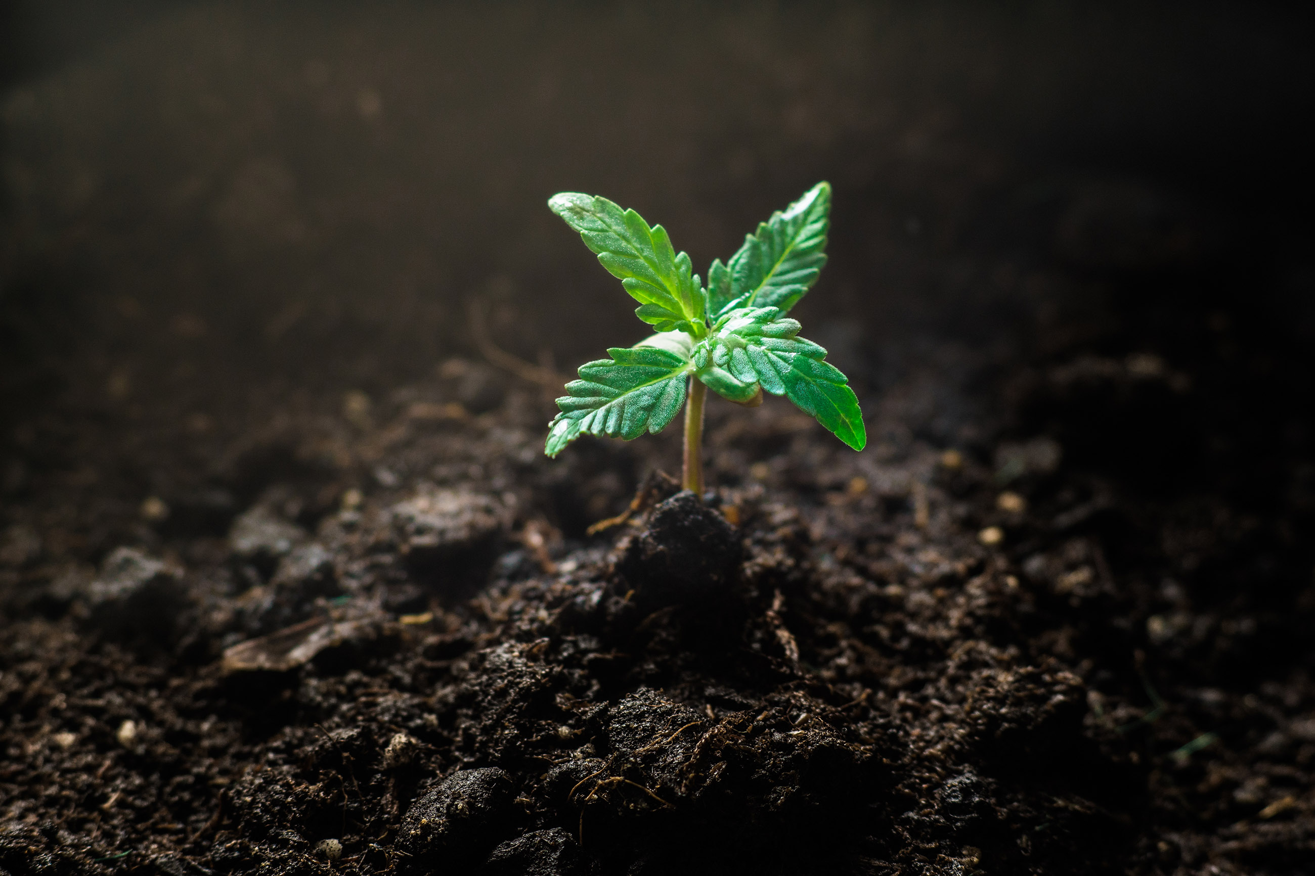 The Life cycle of Cannabis: From seed to harvest