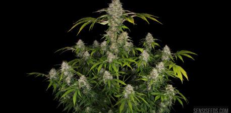 Een zwarte domina-plant