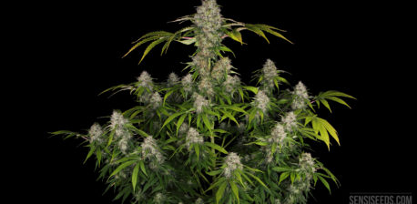 Black Domina: With the power of the four indica hearts