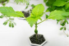 L'hydroponie biologique est-elle possible ?