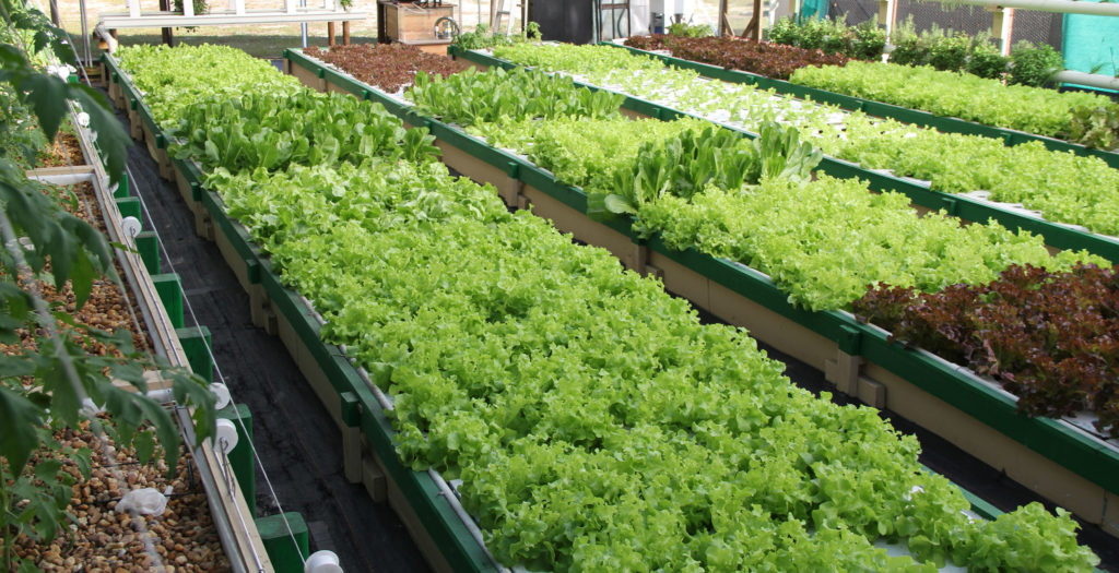 Lettuce grown in bioponic deep water culture by US company Bioponica