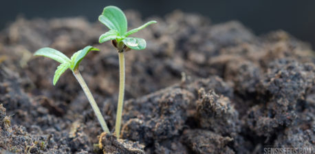 Las 10 Mutaciones Más Alucinantes del Cannabis