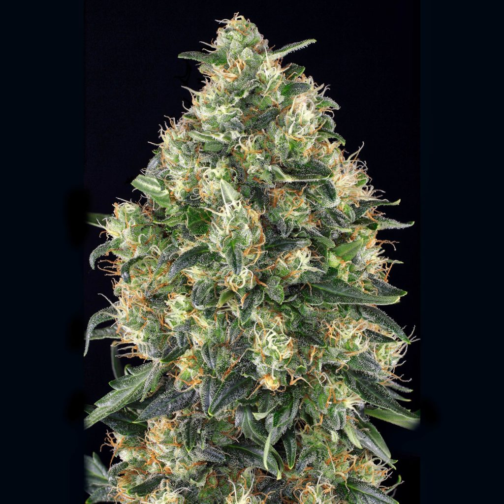 Super Skunk Automatic: The autoflowering potency racer