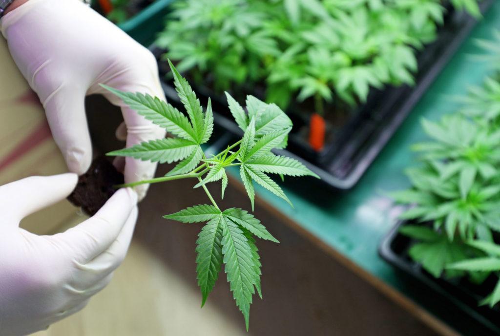 Esterilización del cannabis: comparar todas las opciones