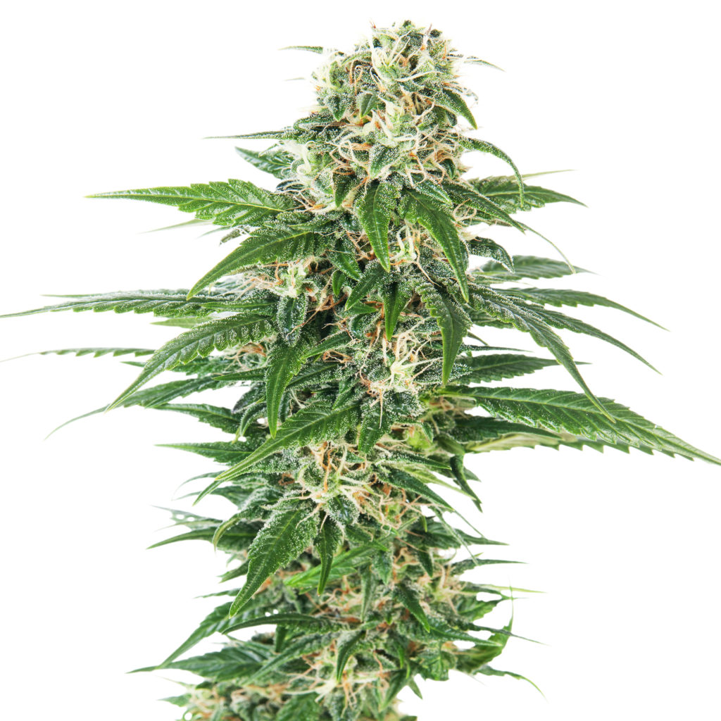 https://sensiseeds.com/blog/wp-content/uploads/2015/04/3-early-skunk-auto-1024x1024.jpg