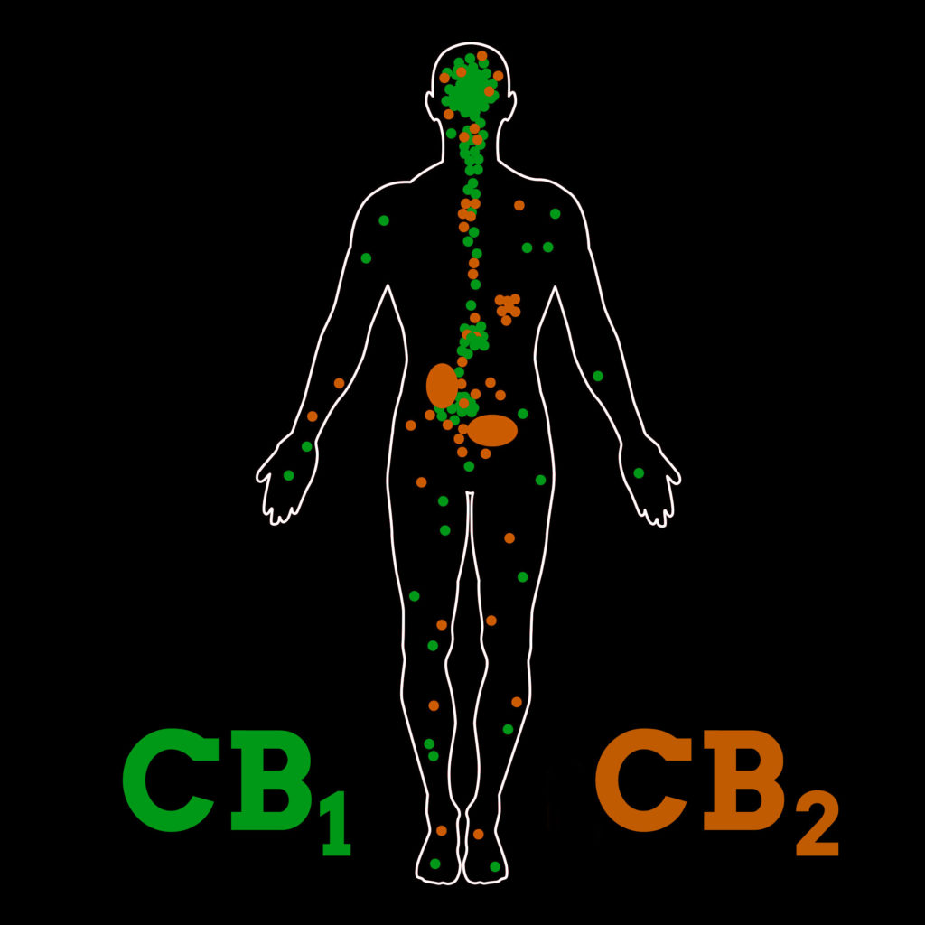 A human body with CB1 receptors marked in green and CB2 receptors marked in orange