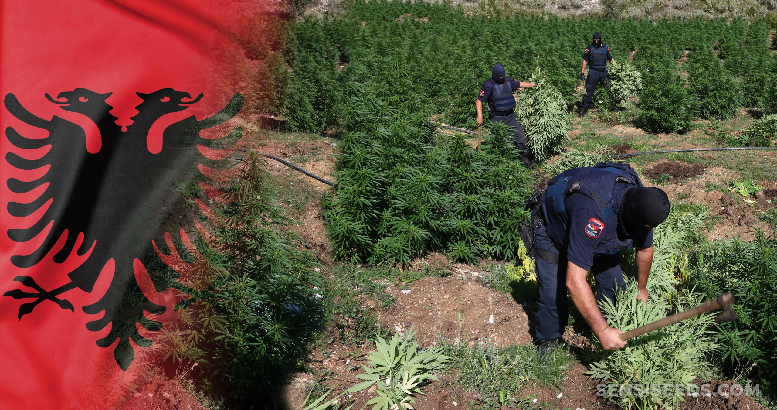 The Albanian flag and workers in a cannabis field