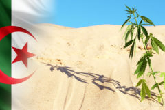 The Algerian flag and a cannabis plant growing in the desert