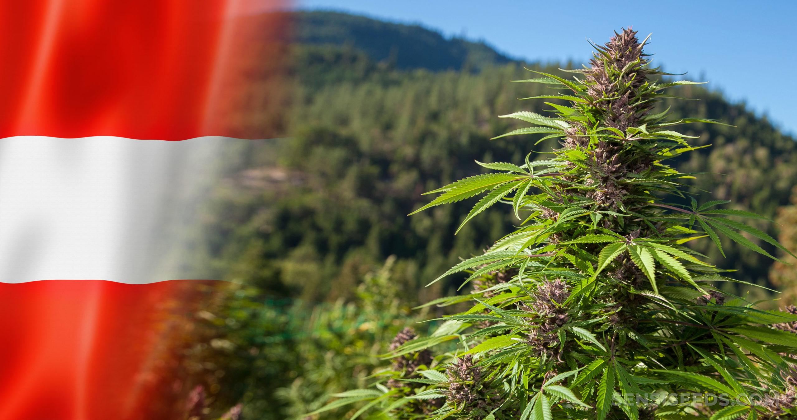 The Austrian flag and cannabis plants