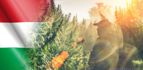 The Hungarian flag and a man standing in a cannabis field