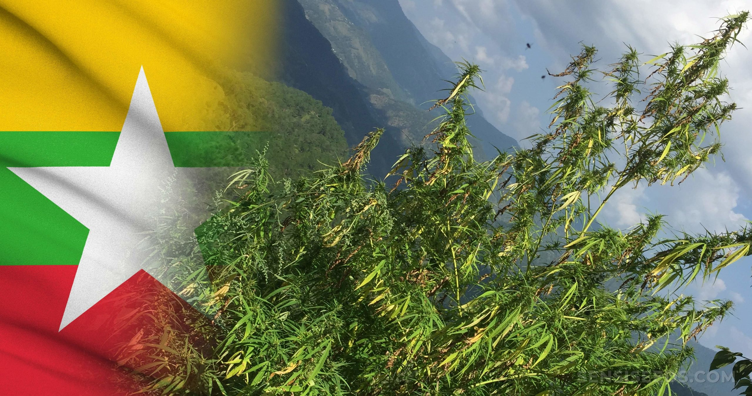 The Myanmar flag and a cannabis plant