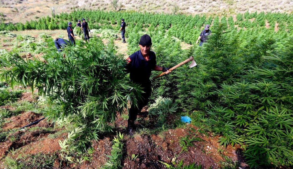 Trabajadores que cosechan plantas de cannabis afuera