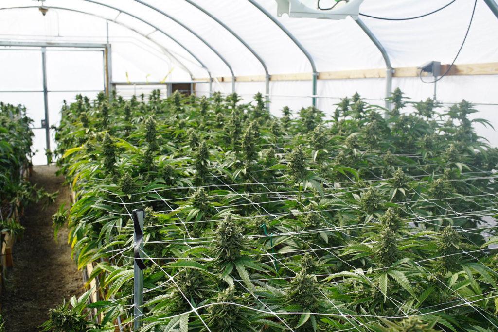 Cannabis-Pflanzen in Käfigen, die in einem Zelt wachsen