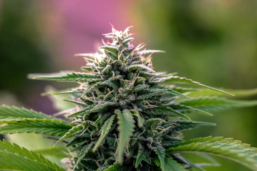 Un primer plano de una planta de cannabis.