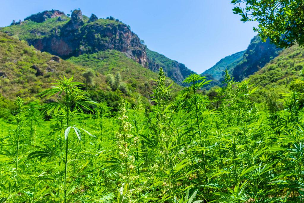 A field of cannabis plants against a mountain range