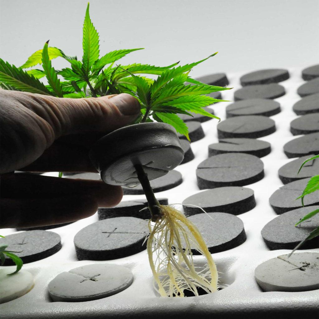How to Clone a Cannabis Plant - Sensi Seeds