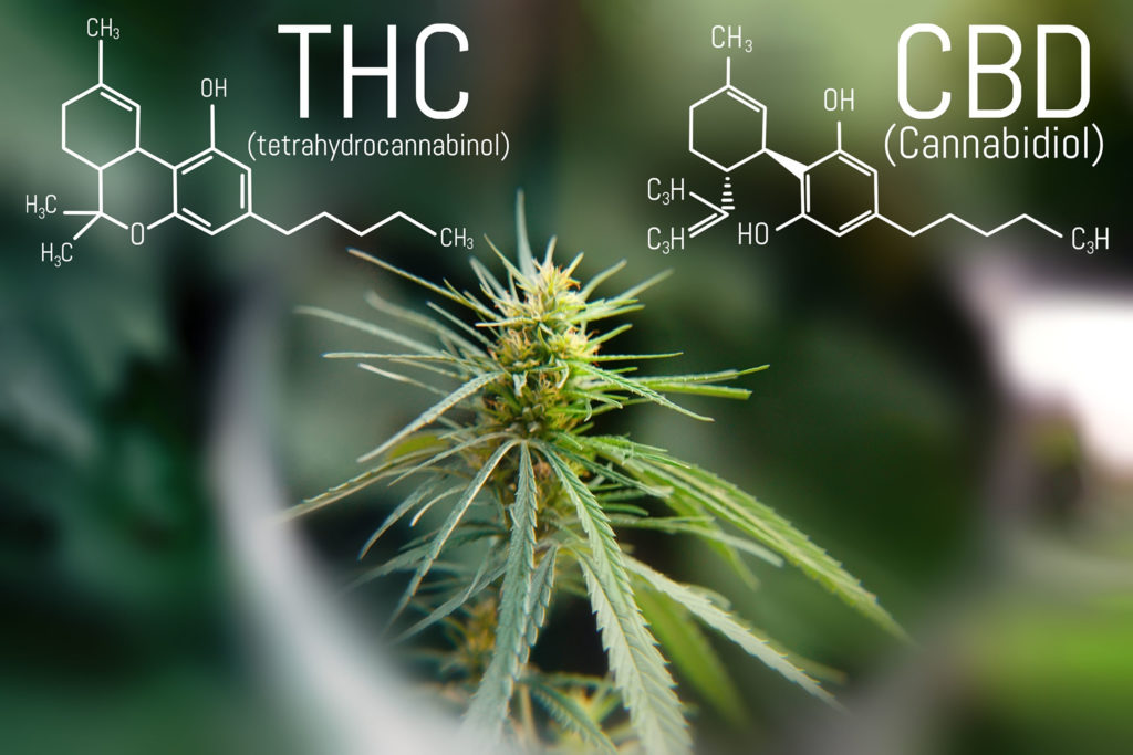 Can CBD Counteract the Effects of THC? - Sensi Seeds
