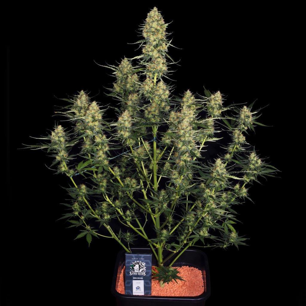 Una planta de cannabis autofloreciente.