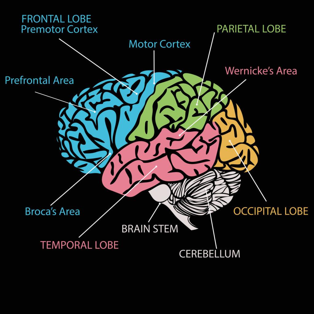 Ilustración del cerebro con las áreas de él de color de diferente.