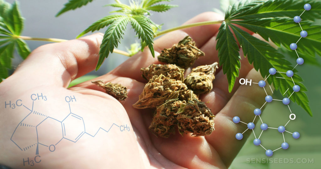 The chemical structure of cannabicyclol, cannabis buds in the palm of a hand, and cannabis leaves