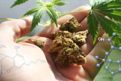Die chemische Struktur von Cannabicycol, Cannabis-Knospen in der Handfläche einer Hand, und Cannabis verlässt
