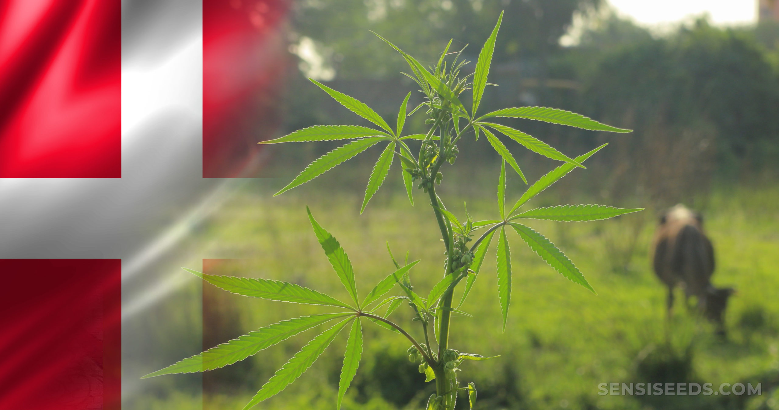 The Danish flag and a cannabis plant
