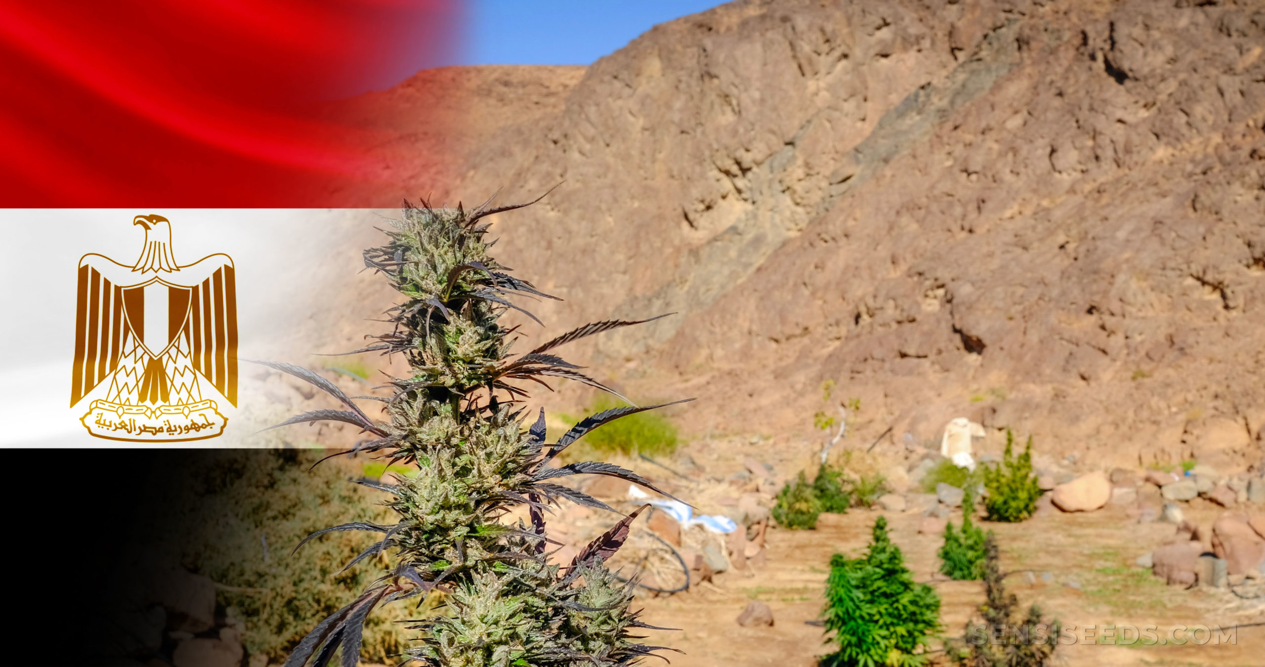 The Egyptian flag and a cannabis plant growing in the desert