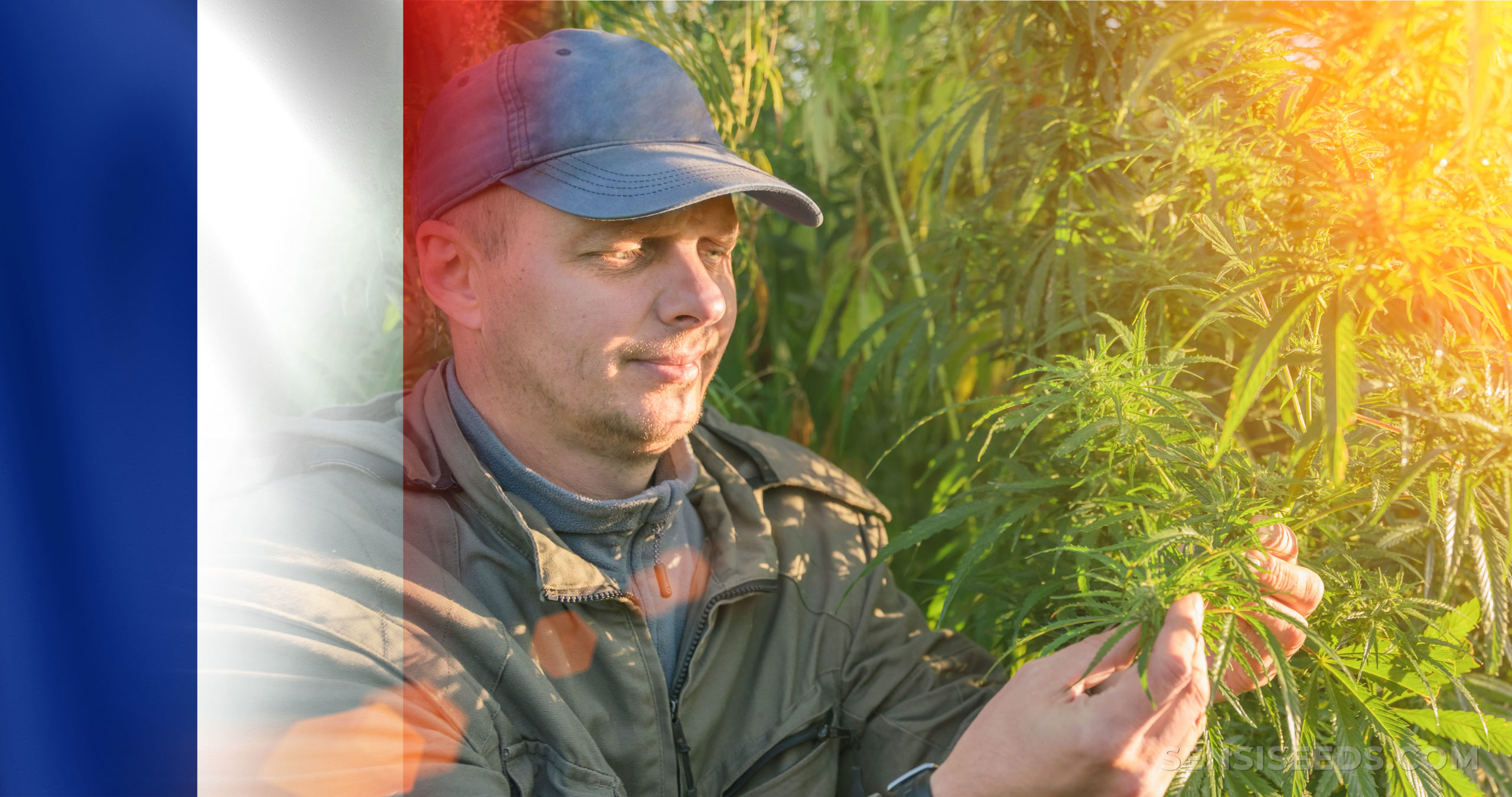 The French flag and a man in a cap inspecting a cannabis plant