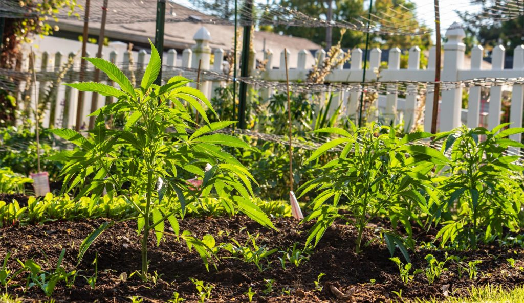 Cannabis plants growing in the garden