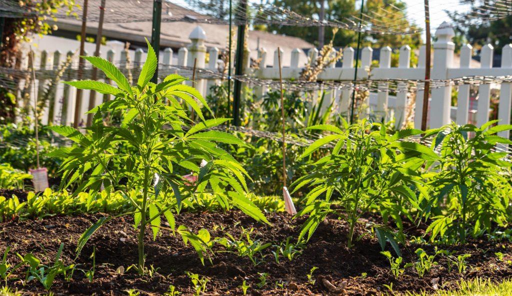 Plantes de cannabis poussant dans le jardin