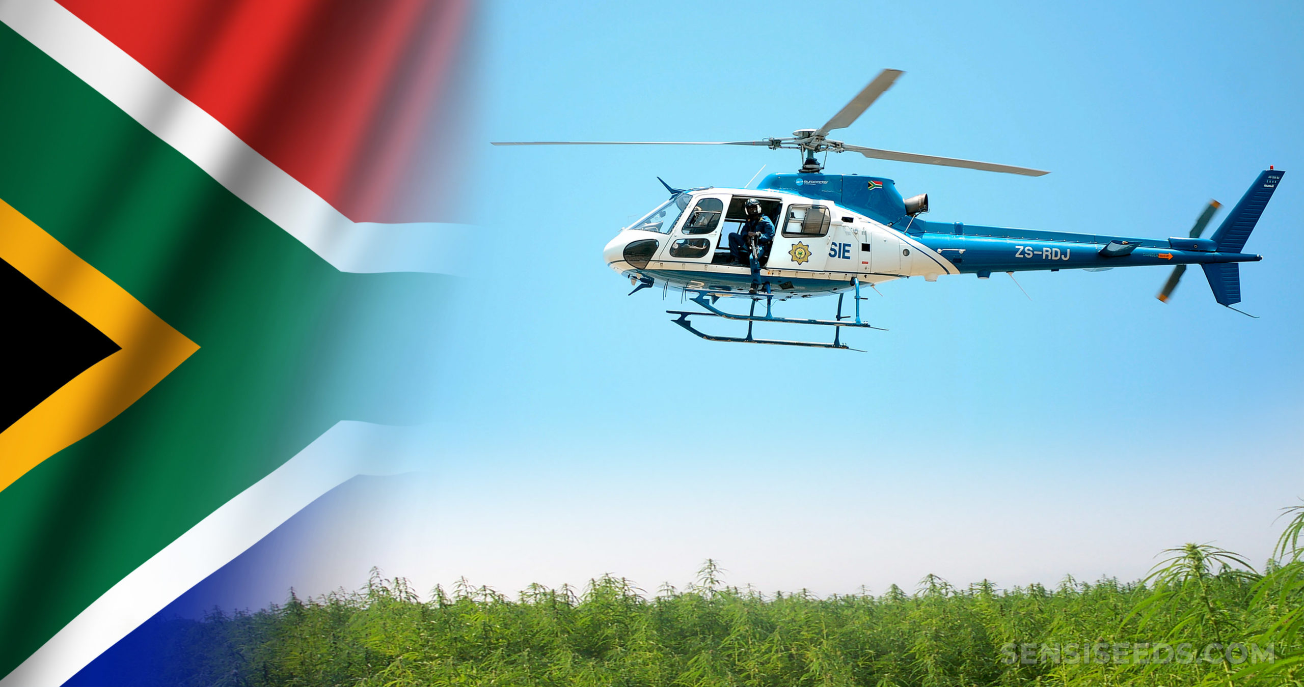 The South African flag and a police helicopter flying over a cannabis field