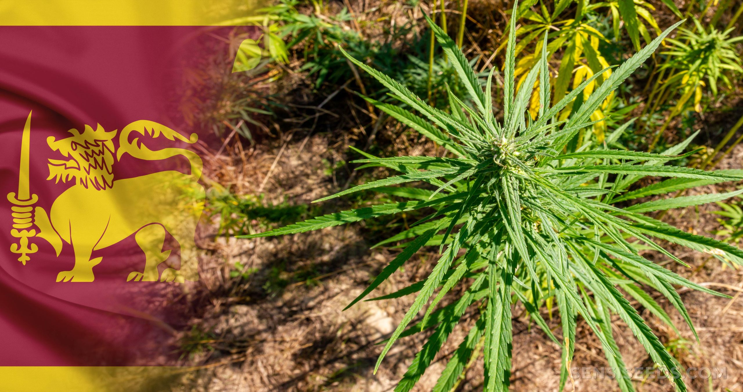 The Sri Lankan flag next to a cannabis plant growing from the soil