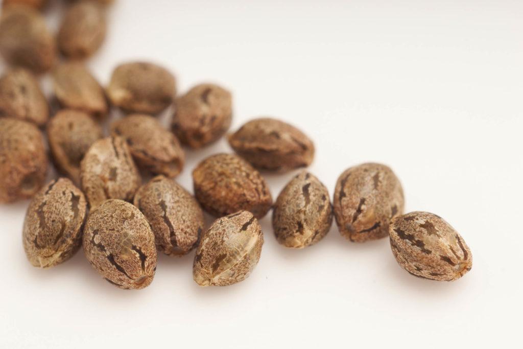 Una dispersión de semillas de cannabis marrón contra un fondo blanco.