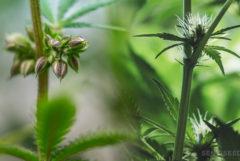 Une plante de cannabis masculine et féminine à côté de l'autre