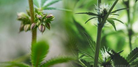 Een mannelijke en vrouwelijke cannabis plant naast elkaarEen mannelijke en vrouwelijke cannabis plant naast elkaar