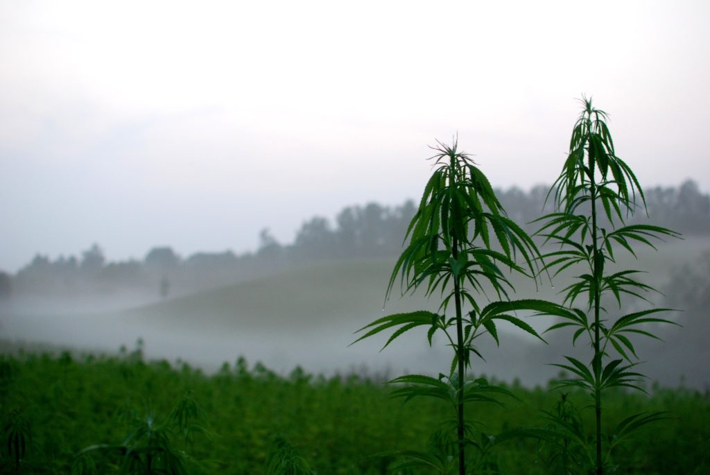 A hemp field with two plants growing taller