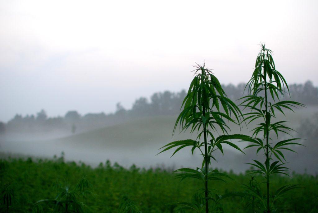 Een hennepveld met twee planten die groter worden