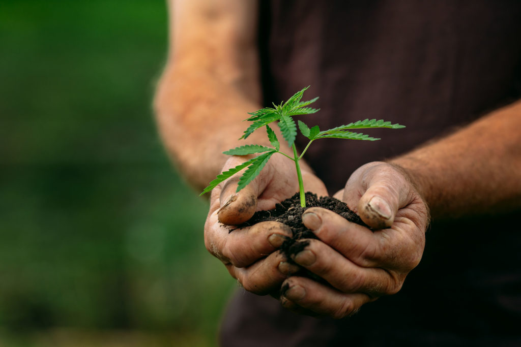 A person holding a small cannabis plant and soil in his hands