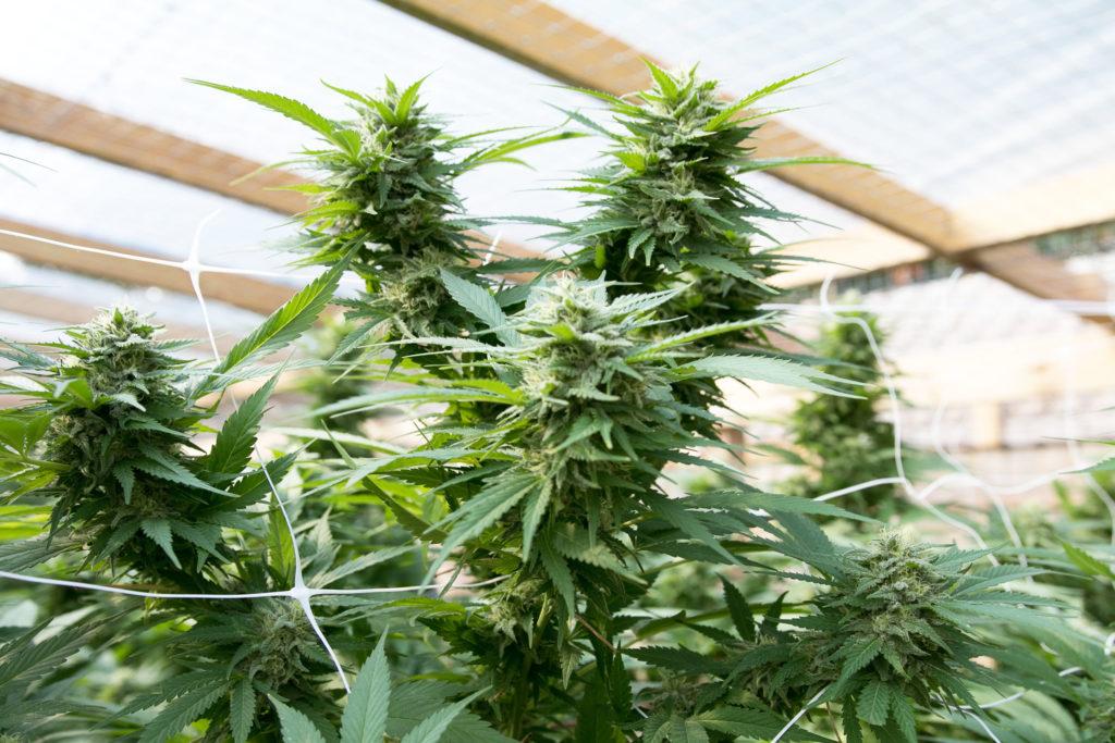 Cannabisplanten bedekt met het groeien van binnen