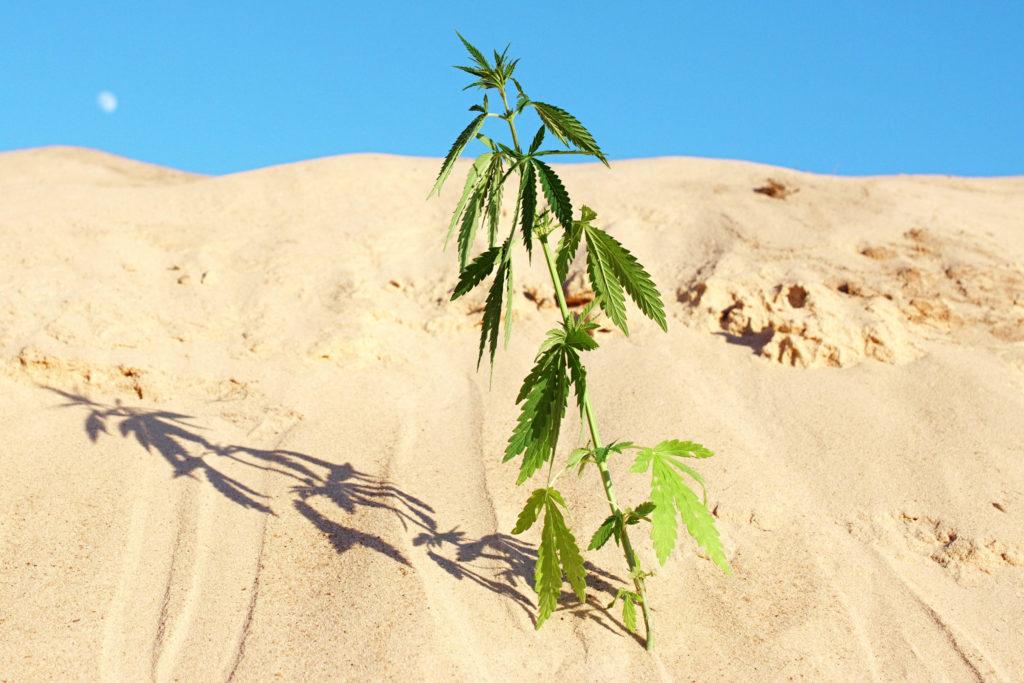 Eine Cannabis-Pflanze, die im Sand wächst