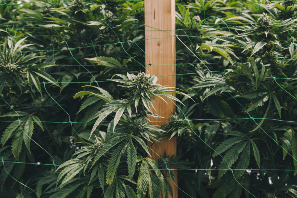 A cannabis plant growing behind a wire fence