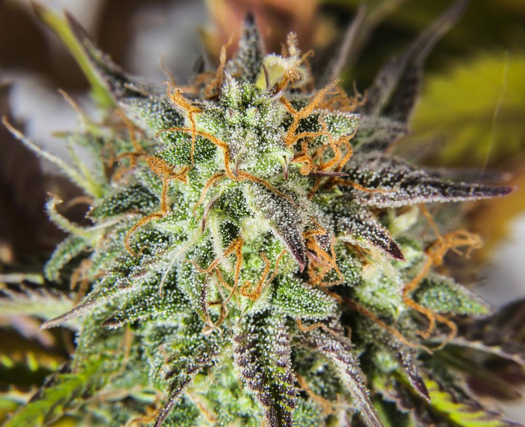 Une plante de cannabis