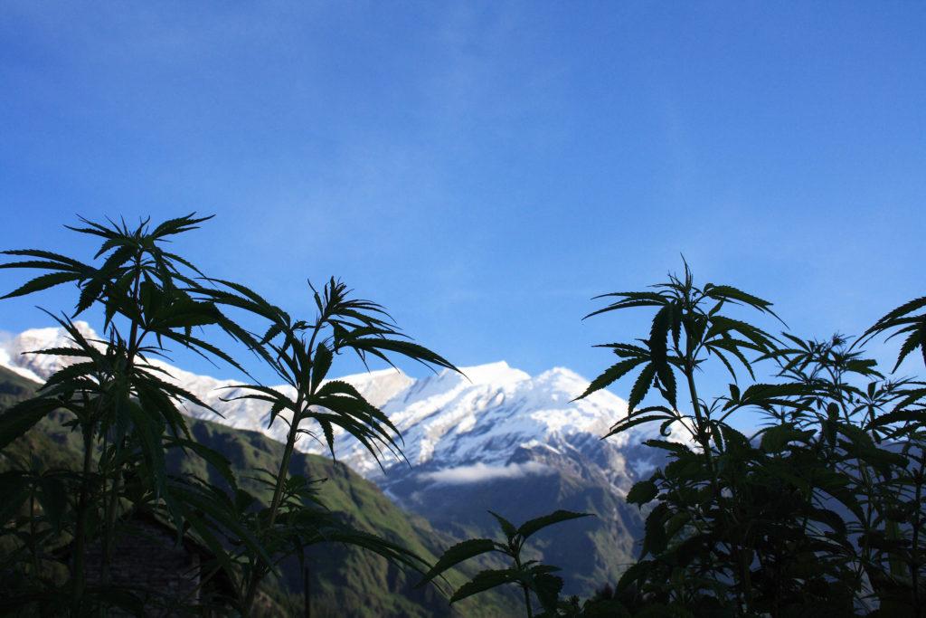 Cannabis-Pflanzen, die vor dem schneefelten Bergen wachsen
