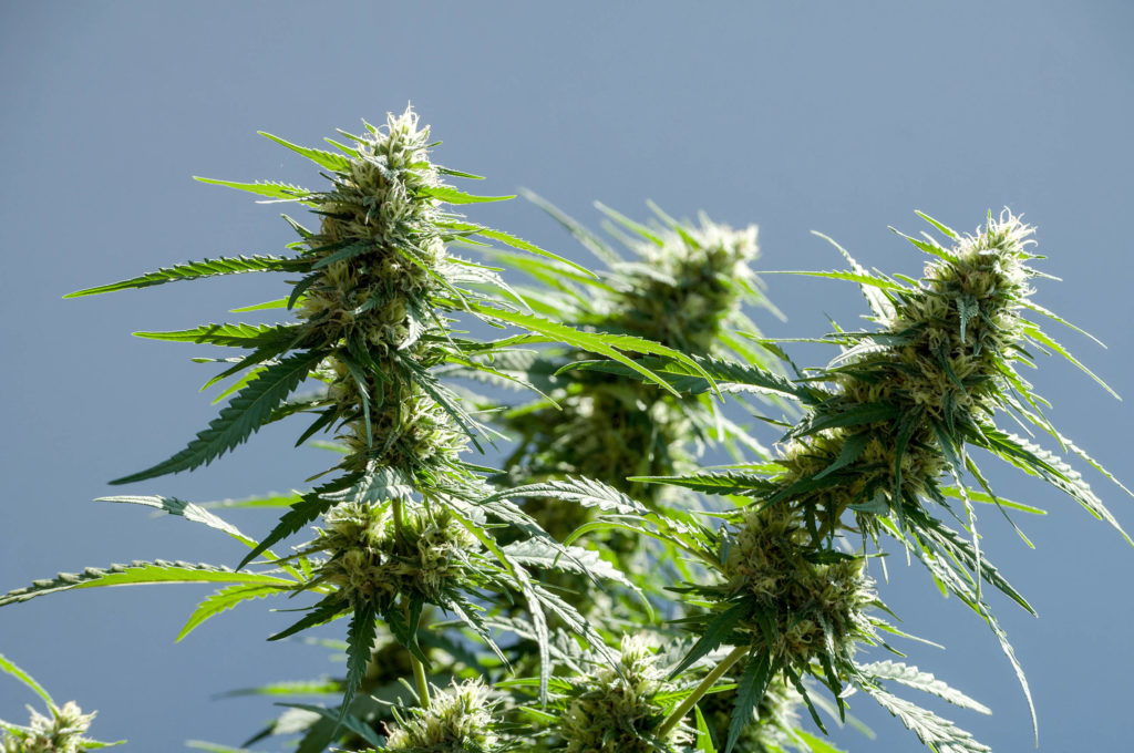 Tres plantas de cannabis