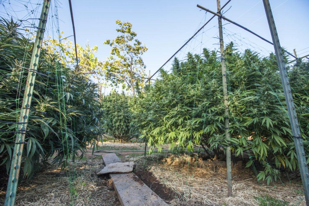 Cannabis planten groeien buiten onder prikkeldraad hekken