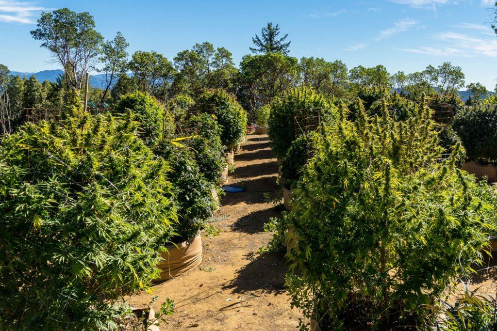 Cannabis plants growing outside