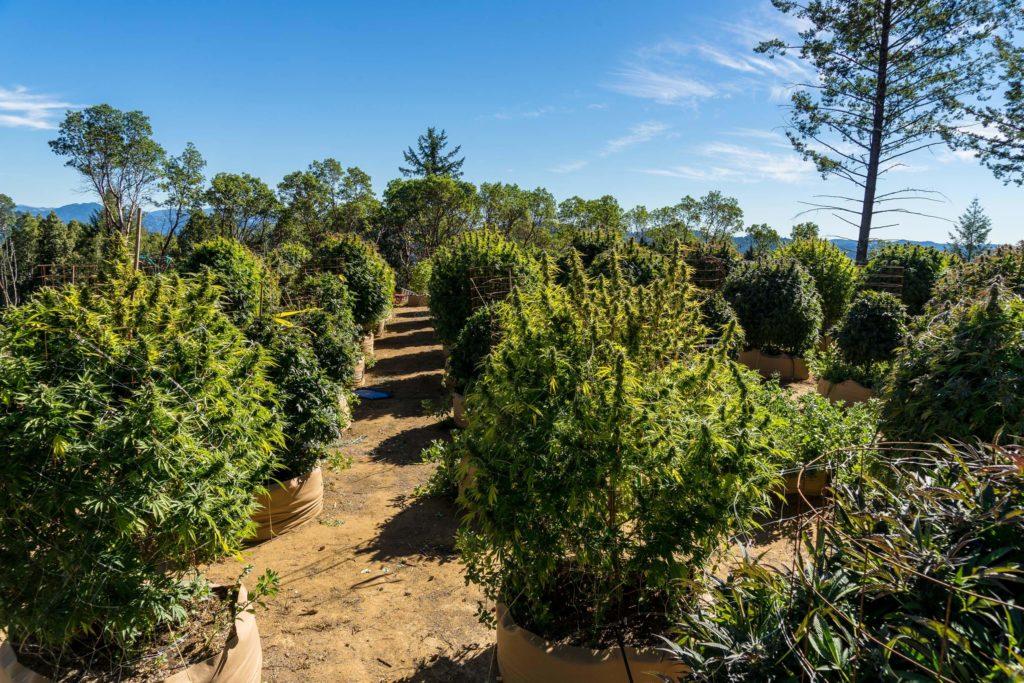Cannabis wächst draußen.